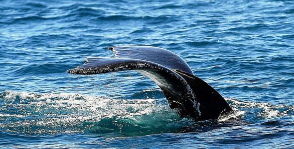 Whale watching Samana